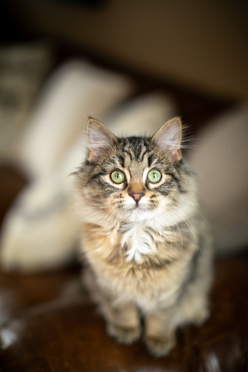 lifestyle cat photography, tabby kitten | ©K Schulz Photography, Bloomington, MN