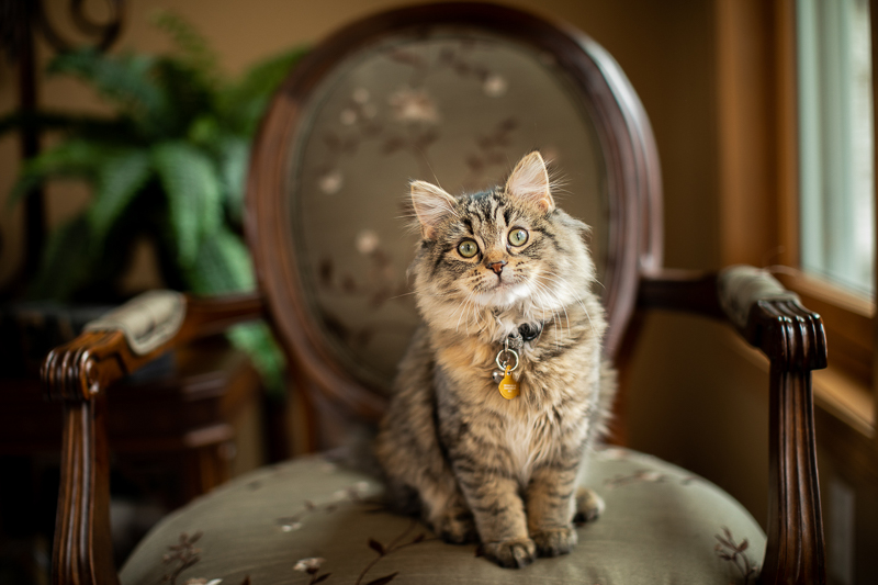 tabby kitten in chair, cats on furniture | ©K Schulz Photography, MN pet photographer