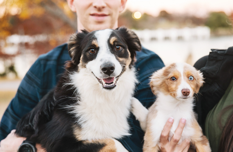 lifestyle dog photography, Miniature Australian Shepherds | ©Monika Normand Photography