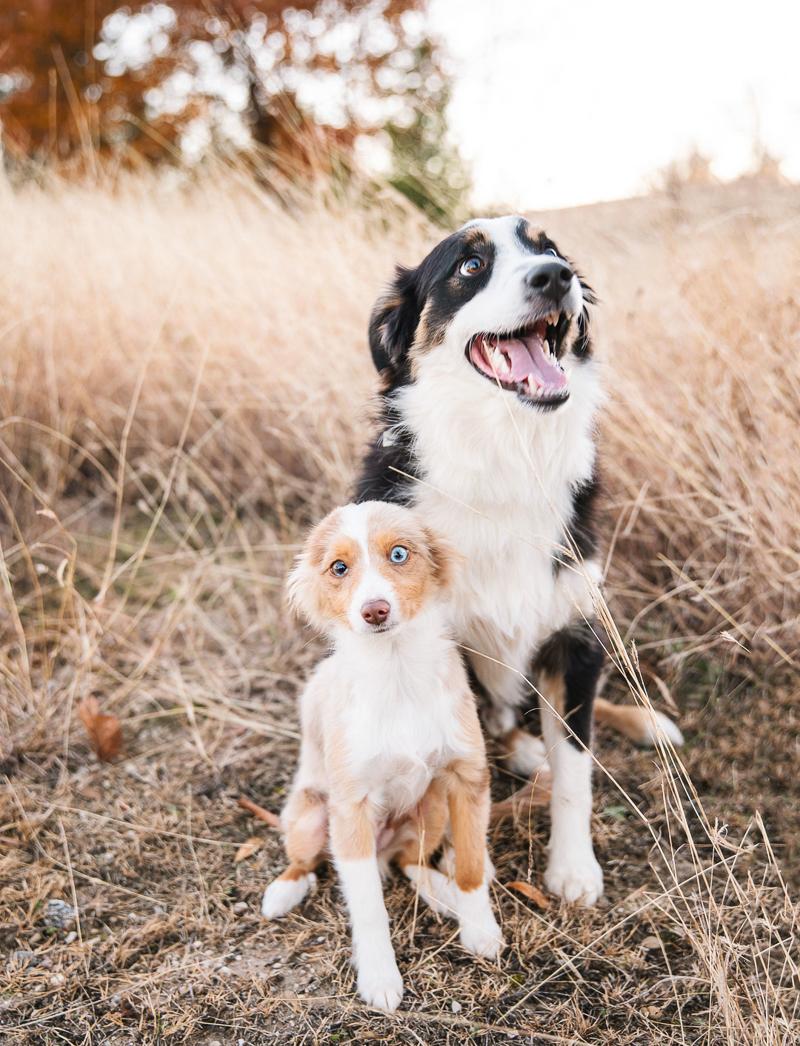 cute mini Australian Shepherds, on location Dallas pet photographer | ©Monika Normand Photography