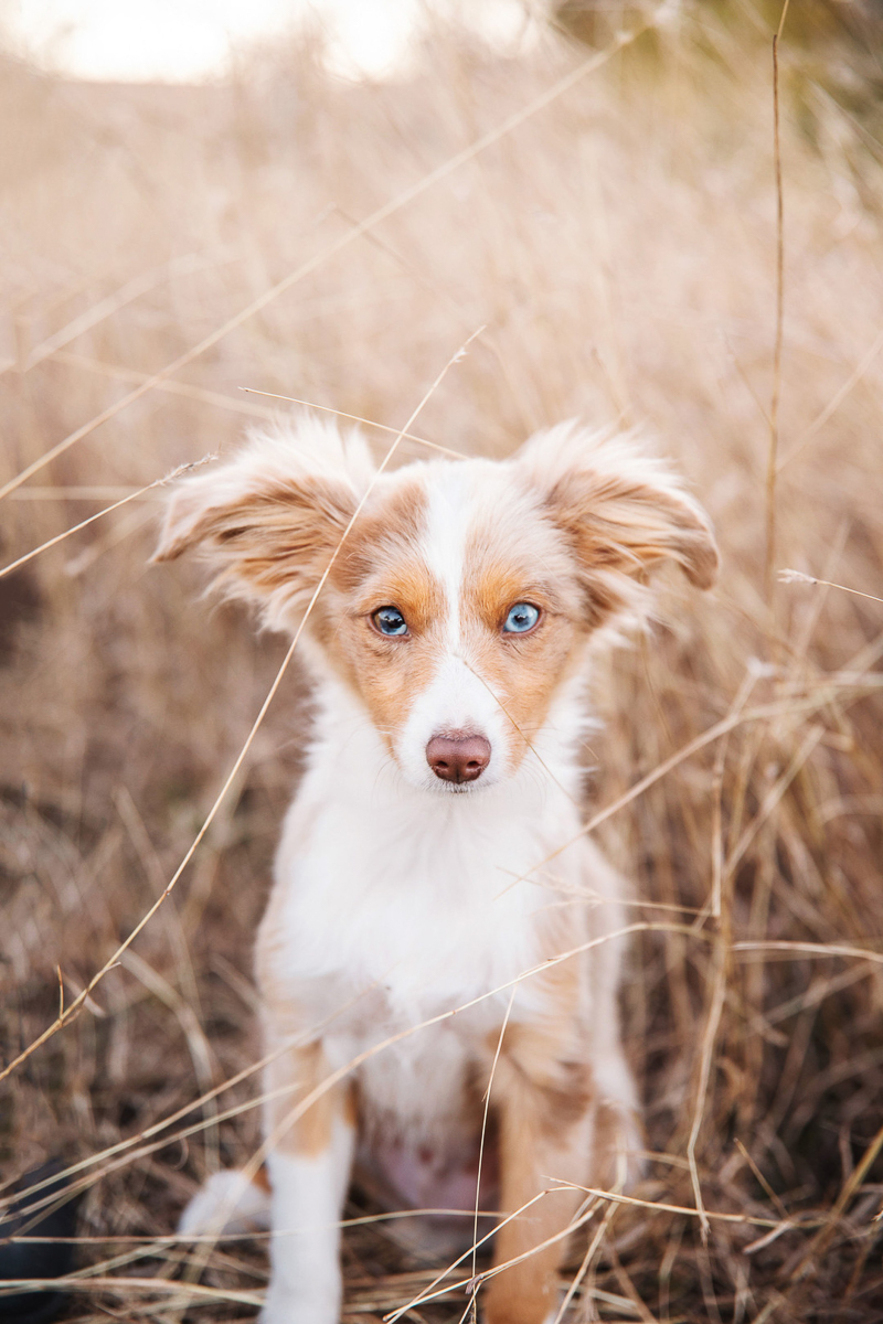 adorable red mini Aussie puppy with heterochromia n field | ©Monika Normand Photography | Dallas lifestyle dog photography
