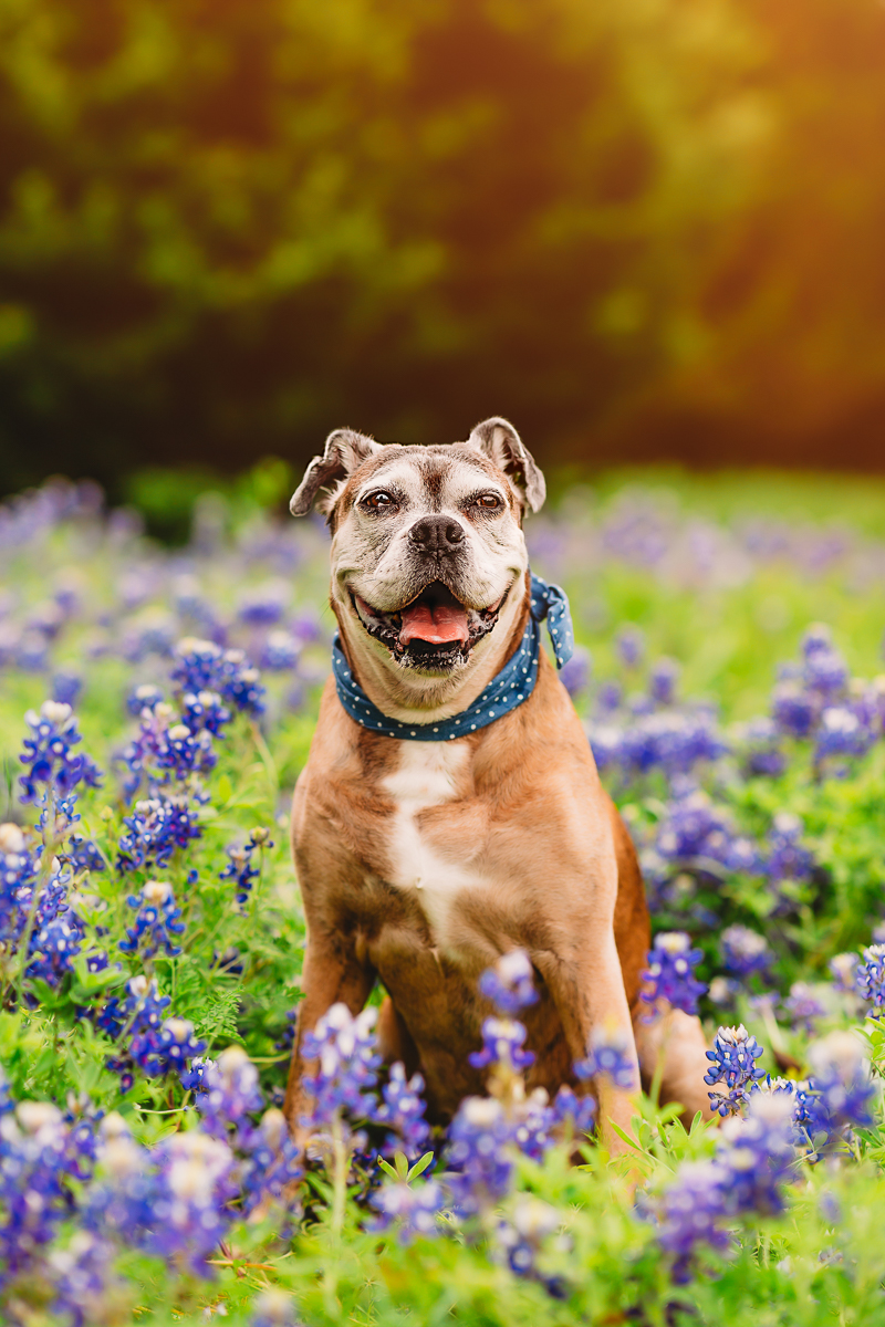 senior Boxer in the bluebonnets, Rockwall, Texas | ©Tabatha O'Brien Photography