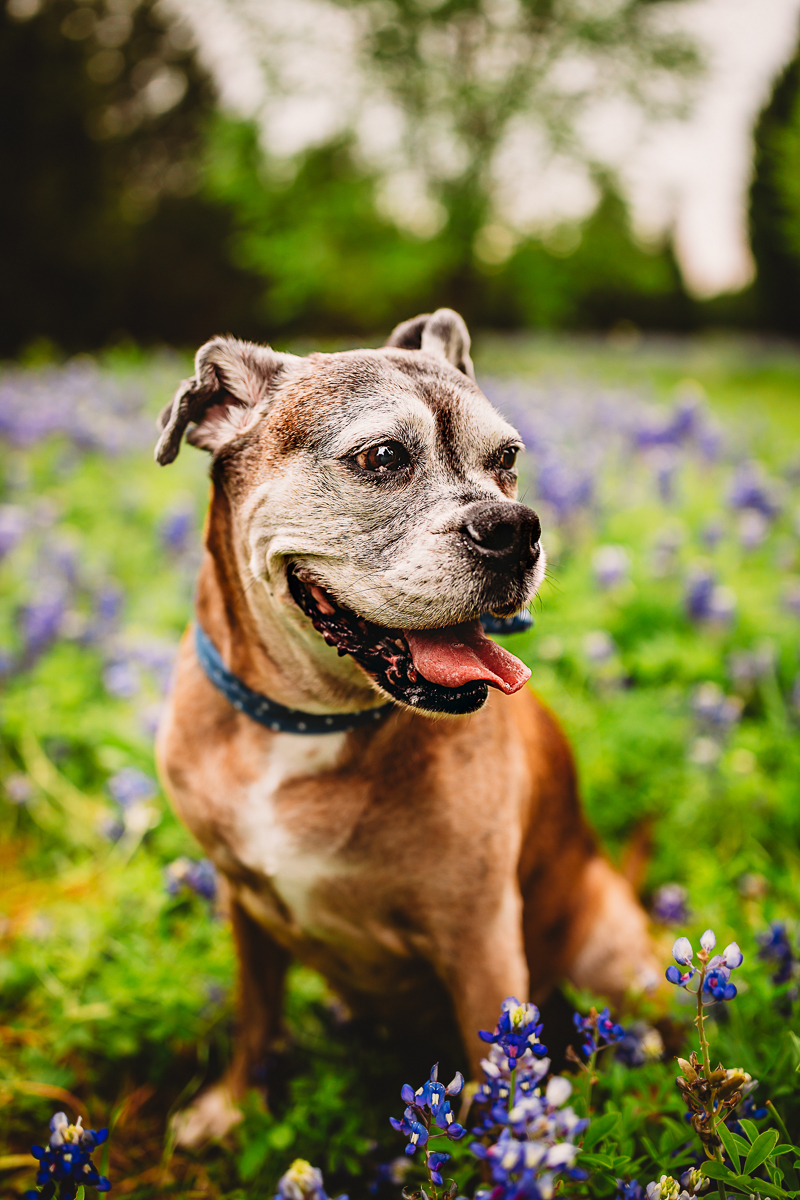 senior Boxer in the bluebonnets, ©Tabatha O'Brien Photography