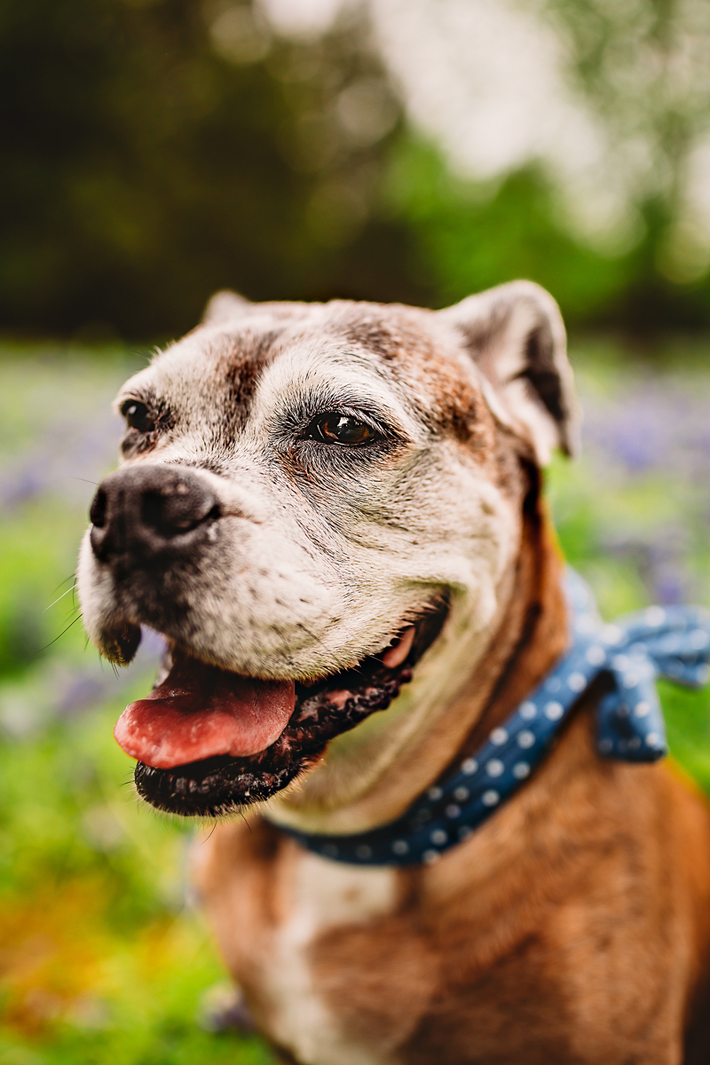 sweet senior dog | ©Tabatha O'Brien Photography | on location dog photography, Rockwall, TX