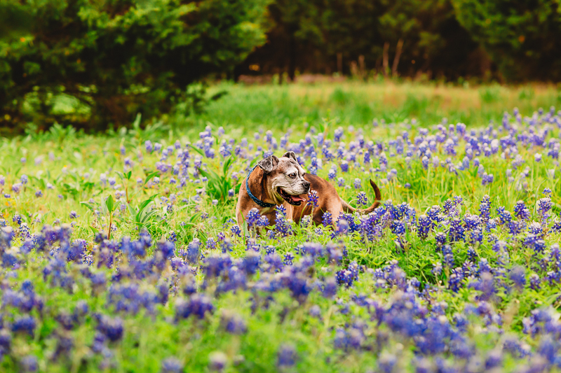 senior dog in field of Bluebonnets, Rockwall/Dallas pet photography | ©Tabatha O'Brien Photography