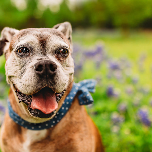 Happy Tails:  Rockzie the Senior Boxer | Rockwall, Texas