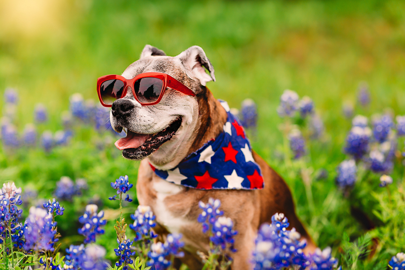 old dog wearing blue bandana with red and white stars, red sunglasses sitting in bluebonnet field | ©Tabatha O'Brien Photography | modern on location pet portraits, Rockwell, Texas