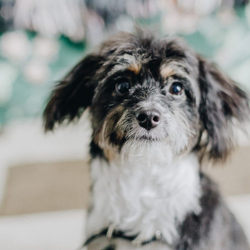 Puppy Love:  Cordy the Aussiedoodle | Brooklyn, NY
