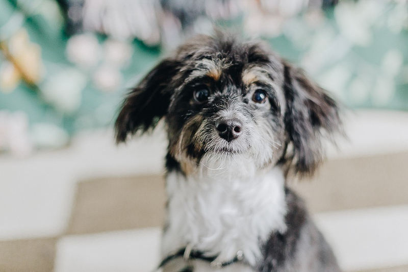 cute mixed breed puppy, Aussiedoodle | ©Brooklyn Wedding Photo