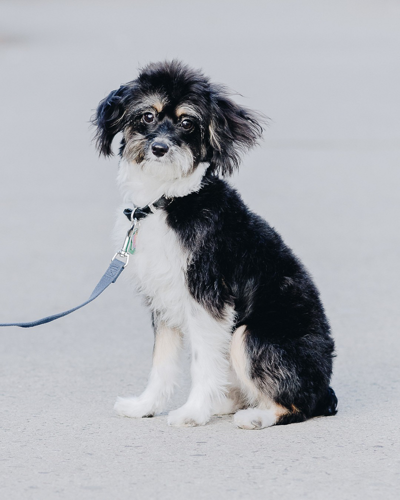 sweet Aussiedoodle puppy with blue leash,