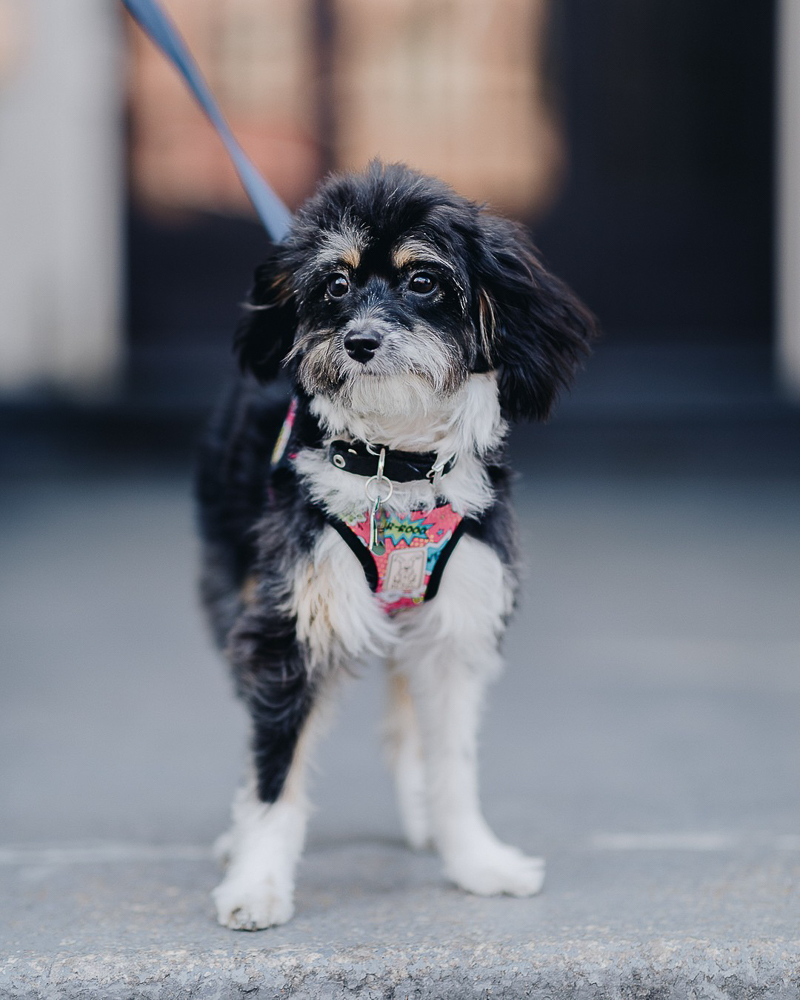 Aussiedoodle standing on city sidewalk | ©Brooklyn Wedding Photo