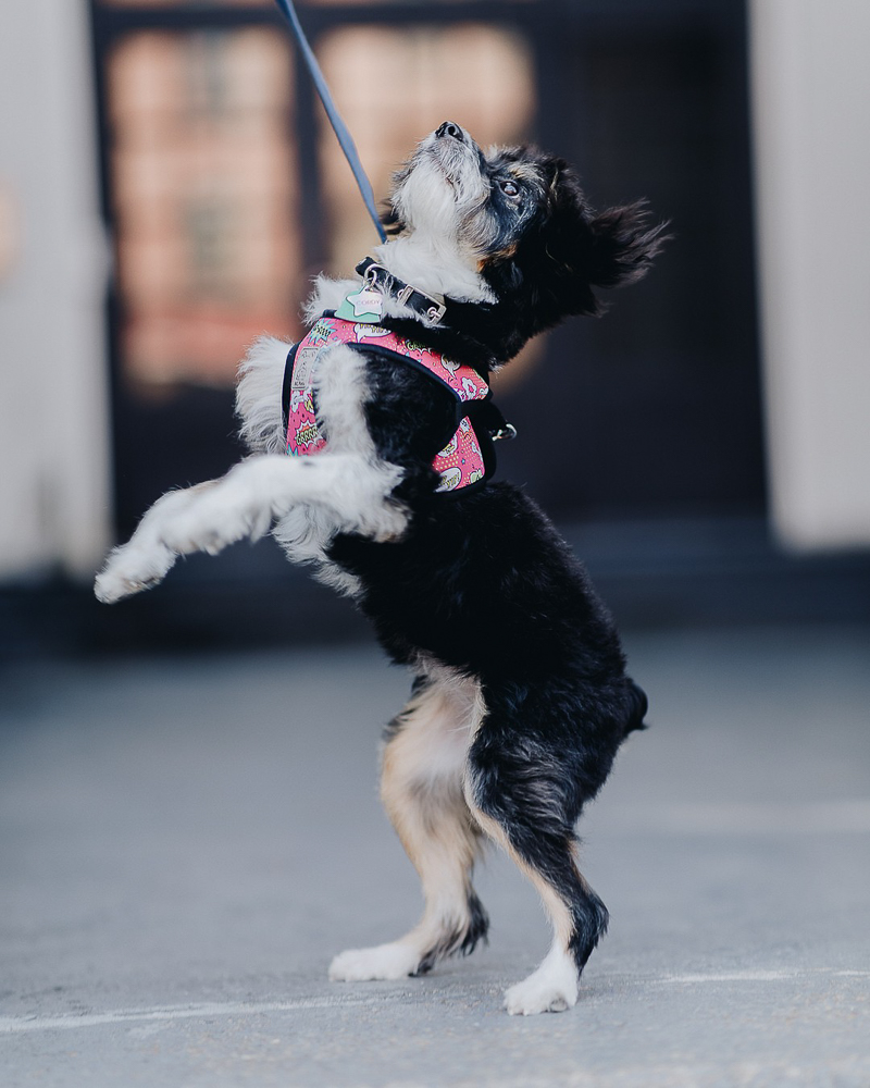 Puppy standing on back legs, ©Brooklyn Wedding Photo