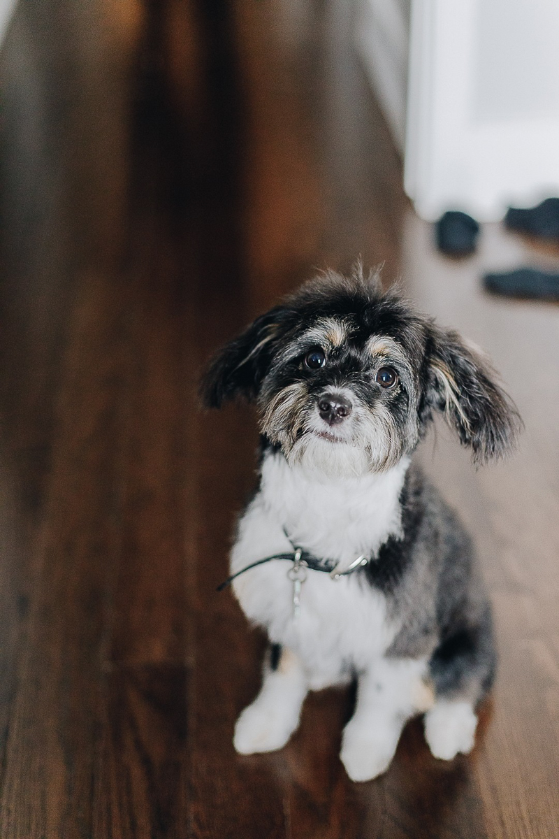 cute Aussiedoodle puppy, lifestyle pet photography | ©Brooklyn Wedding Photo