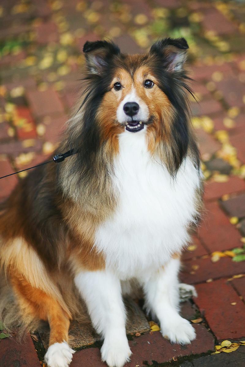 fall lifestyle dog photography, Sheltie on brick sidewalk Helena Woods | , Old Town Alexandria
