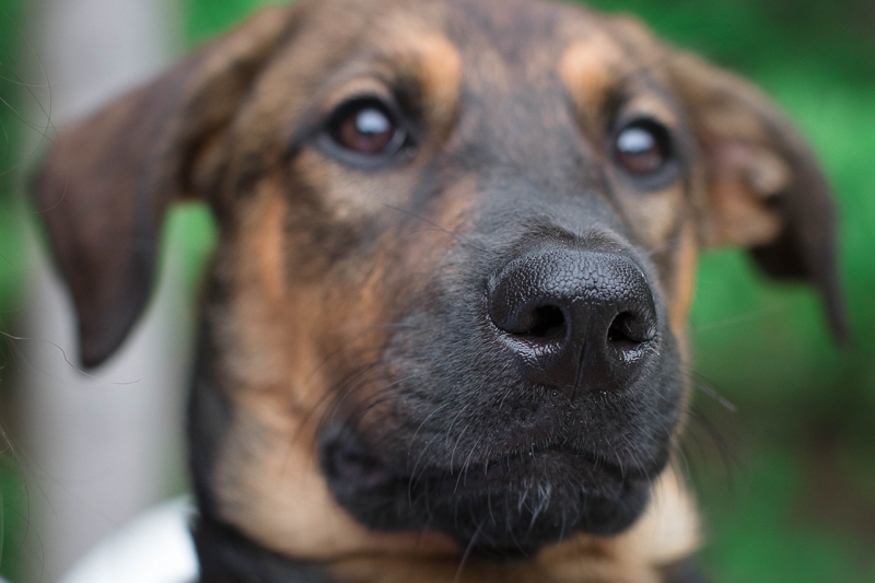 close up of German Shepherd mix puppy, lifestyle pet photography | ©Impressions Photography