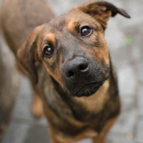 Puppy Love: Athena the Lab/German Shepherd Mix