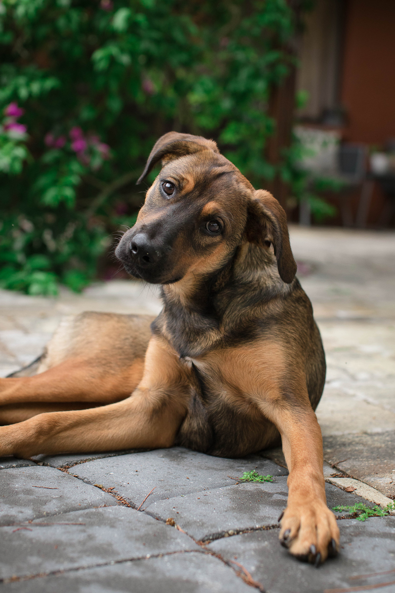 5 month old Shepherd mix lounging on patio ©Impressions Photography | lifestyle dog photography Fort Myers, FL,