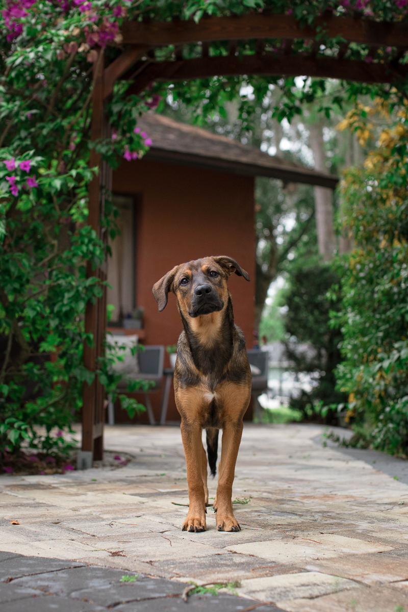 German Shepherd standing on patio, lifestyle pet photography | ©Impressions Photography