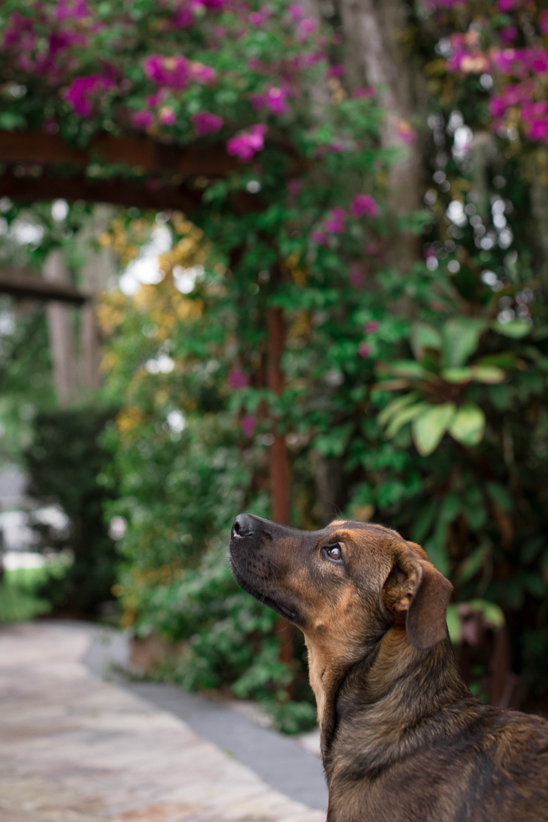 German Shepherd mix puppy with flowering vine in background | ©Impressions Photography | lifestyle dog photography Fort Myers, FL,