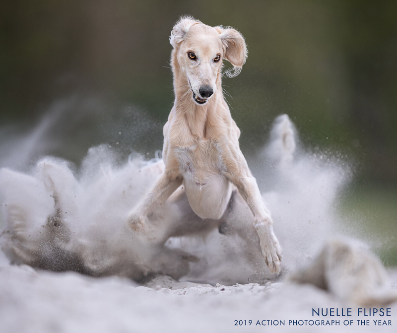 sighthound with cloud of sand, action dog photography | Nuelle Flipse