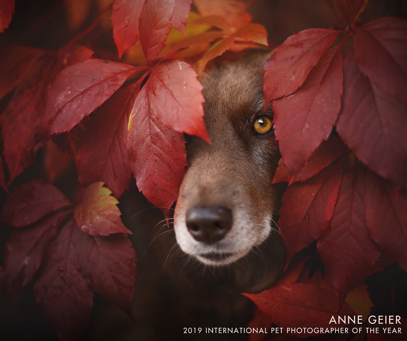 dog peeking out behind red leaves | ©Anne Geier 2019 International Pet Photographer Of The Year