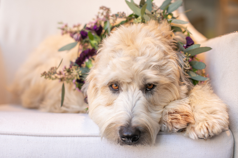 wedding dog, dog wearing floral collar | ©K Schulz Photography, Minnesota pet and wedding photography