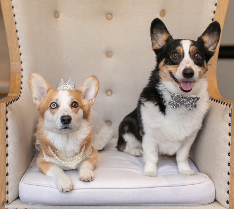 Corgis dressed up for their humans' wedding, pearls, tiara, and glittery bow tie for dogs | ©K Schulz Photography, Minnesota pet and wedding photography