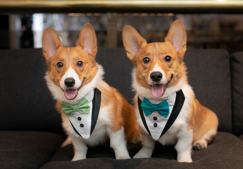 Corgis wearing harnesses that look like tuxes , wedding attire for dogs | ©K Schulz Photography, Minnesota pet and wedding photography