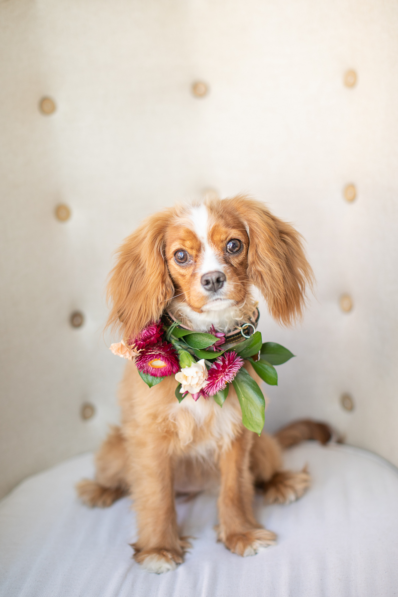 spaniel wearing floral collar, wedding dog | ©K Schulz Photography, Minnesota pet and wedding photography