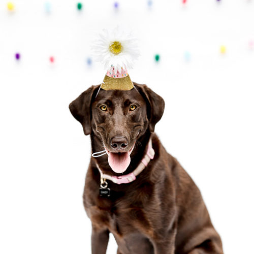 Dawg Pawty:  Daisy the Chocolate Labrador | Medford, MA