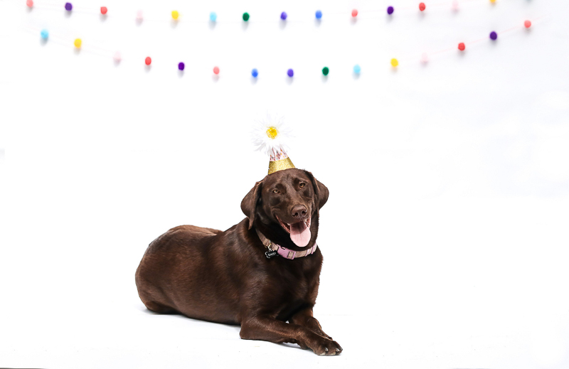 happy dog wearing birthday hat, ©designs HOBBY Photography | studio dog photography, Medford, MA