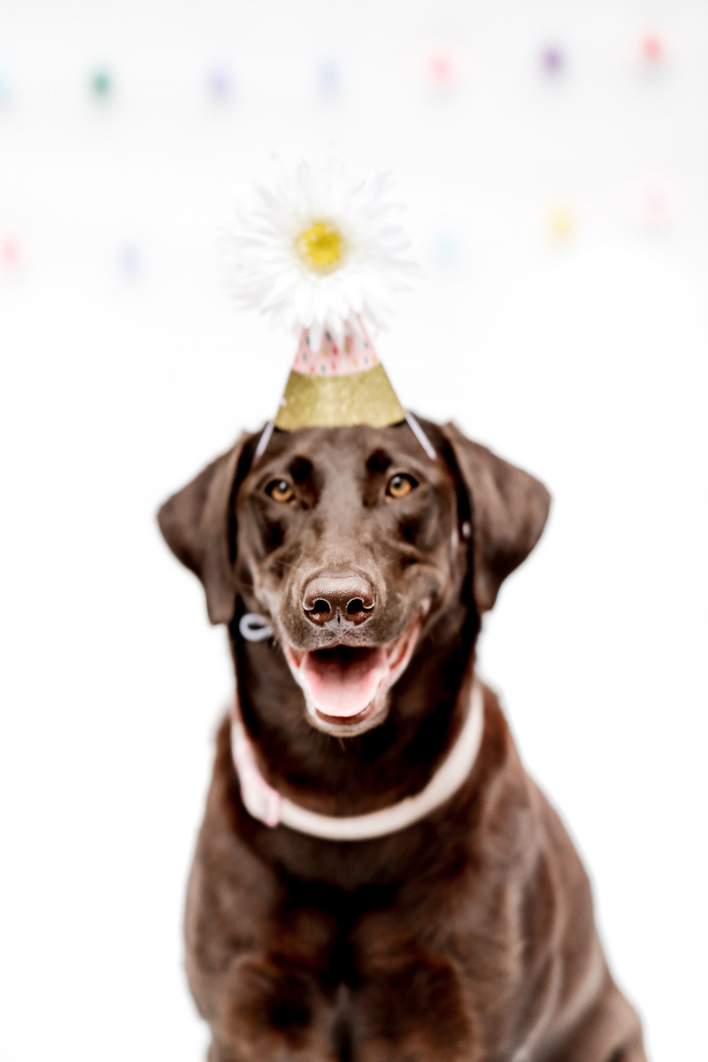 Chocolate Lab wearing paper hat with a big daisy at the top, birthday dog studio portraits ©designs HOBBY Photography