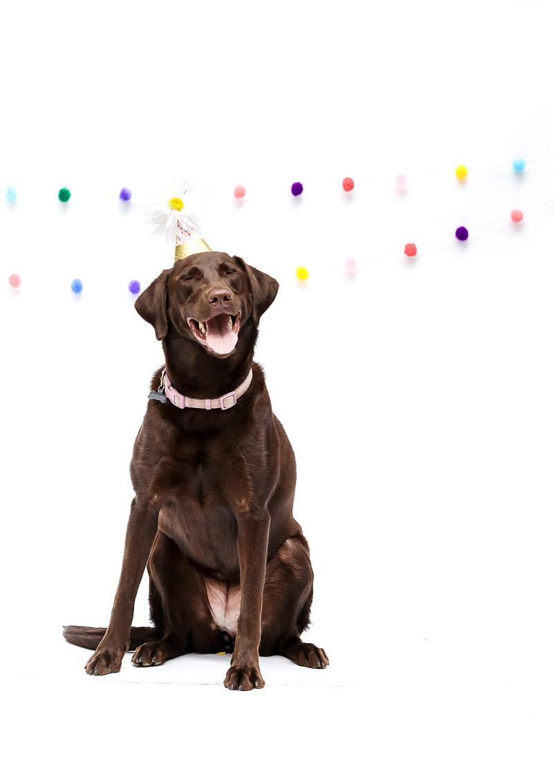 happy dog celebrating birthday, ©designs HOBBY Photography | studio dog photography, Medford, MA