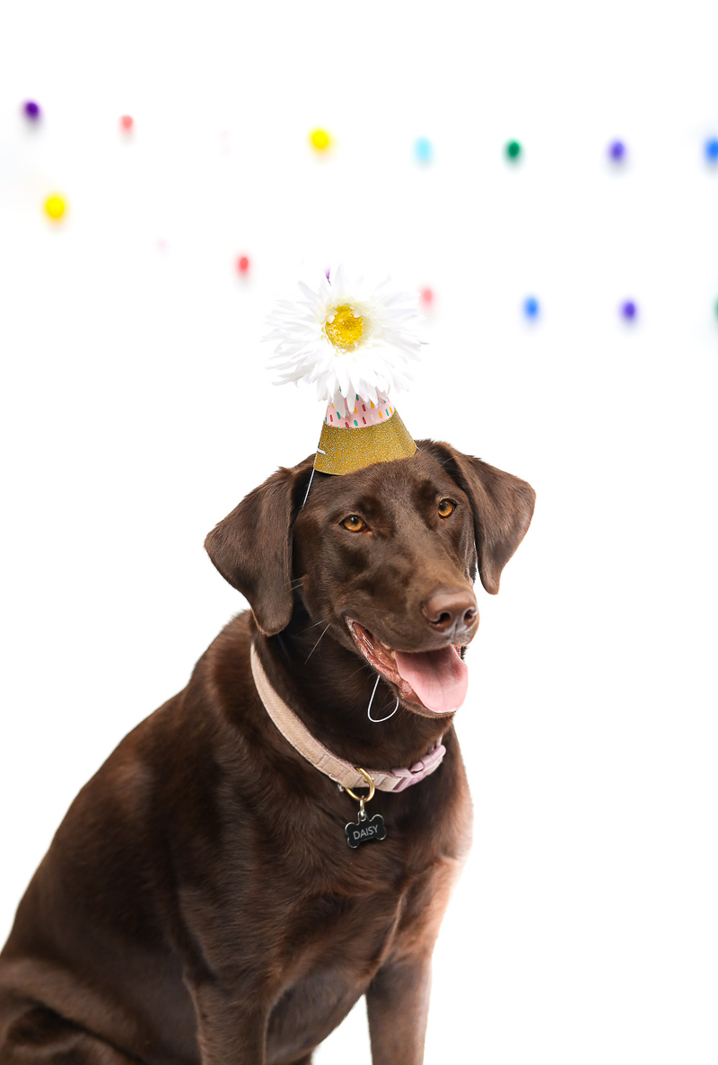 Chocolate Lab in her party hat, birthday party for a dog | ©designs HOBBY Photography