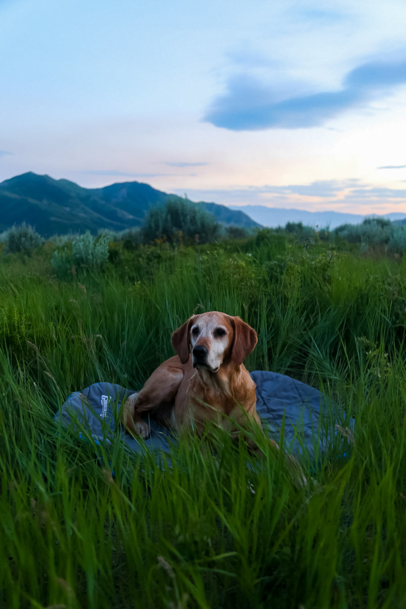 Lab/Golden Retriever mix laying on bed in tall grass, Emigration Canyon, Utah | ©Halie West Photography