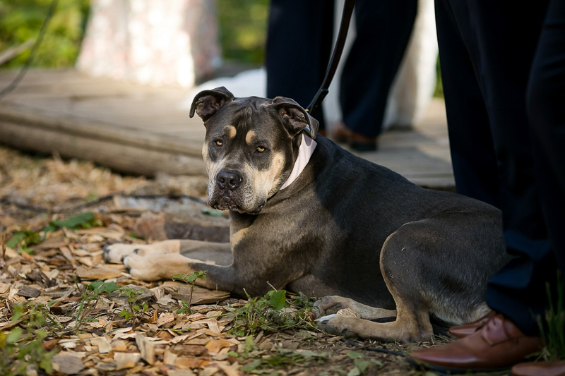 Cane Corso mix, wedding dog | ©Jeannine Marie Photography,