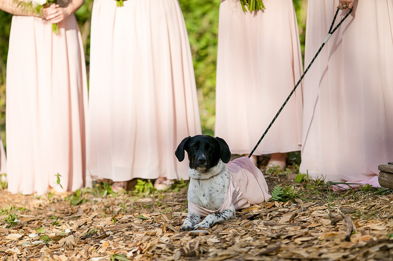 Pointer mix in bridesmaid dress, dog-friendly wedding ideas | ©Jeannine Marie Photography,