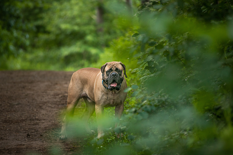 Mastiff on trail, slightly behind a tree, creative dog photography ideas   K Schulz Photography, Eagan, MN