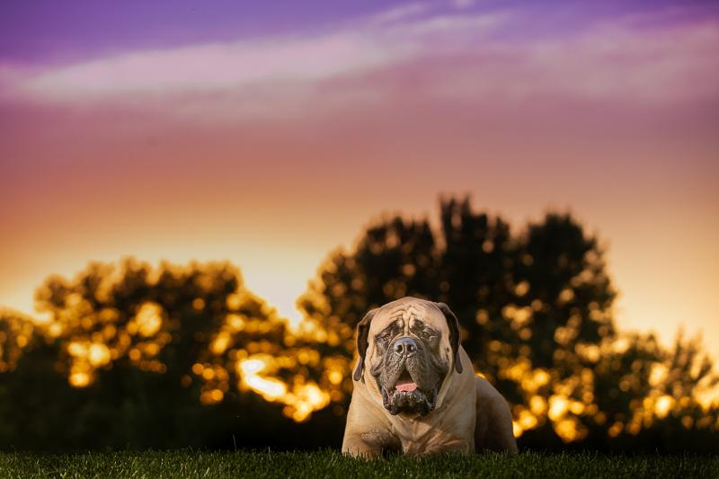 large Mastiff lying on grass at sunset ©K Schulz Photography   creative dog photography ideas, Eagan, Minnesota