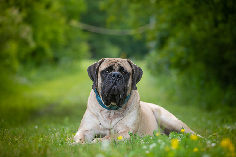 Large fawn Mastiff laying in the grass | K Schulz Photography, Eagan, MN