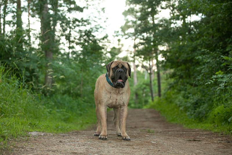 wet Mastiff on trail, ©K Schulz Photography   lifestyle dog photography ideas, Eagan, Minnesota