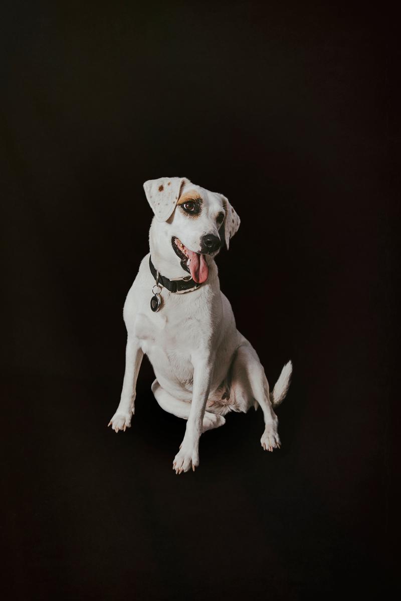 white dog with spots, Jack Russell/Beagle Mix, studio dog photography ideas©Trademark Photos by Tami McKenney, Sapulpa, Oklahoma