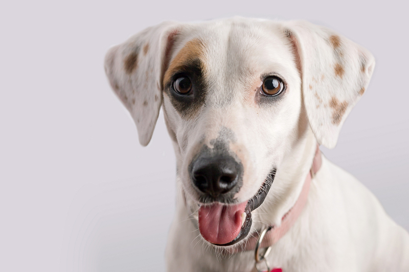 cute Beagle/Jack Russell Terrier mix, lifestyle and studio dog photography ©Trademark Photos by Tami McKenney, Sapulpa, Oklahoma