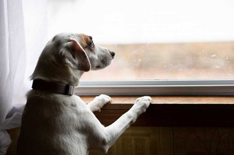 adorable Beagle/Jack Russell Terrier mix looking out the window | Trademark Photos by Tami McKenney