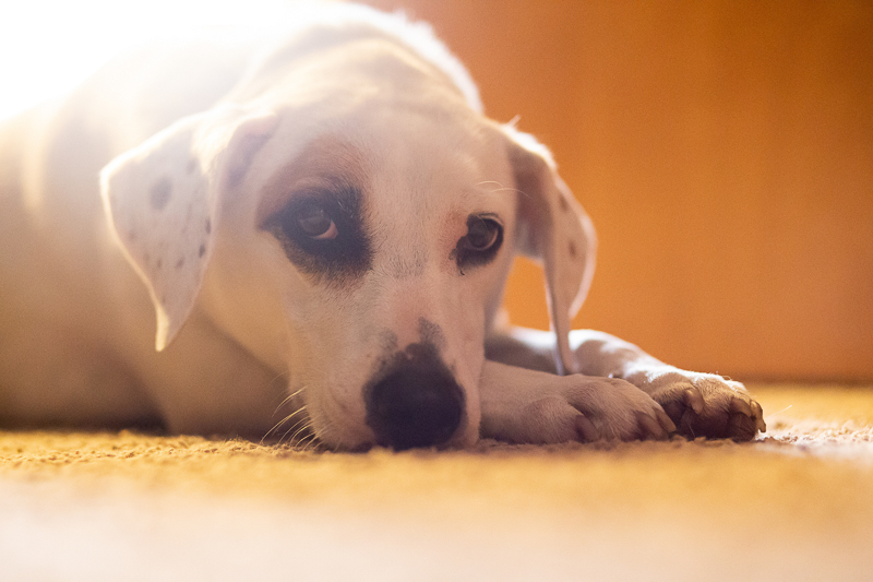 newly adopted pup resting on the floor ©Trademark Photos by Tami McKenney,
