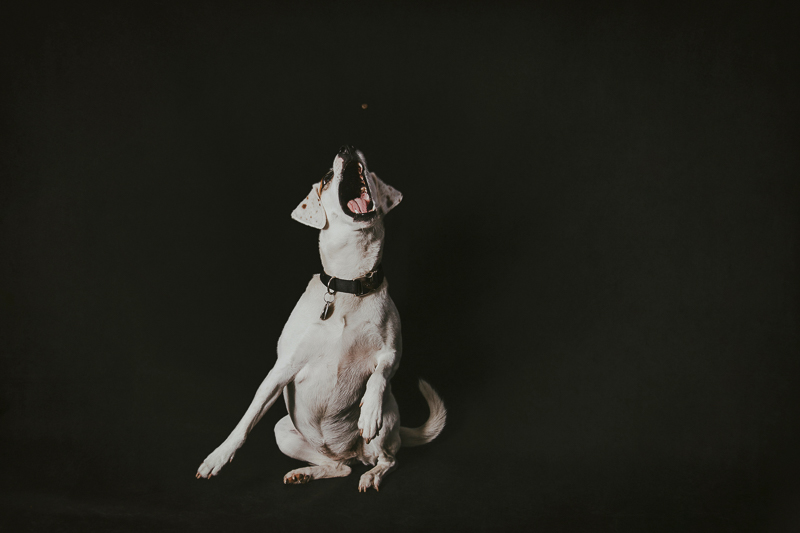 Beagle/Jack Russell Terrier mix catching treat, studio dog photography ideas | ©Trademark Photos by Tami McKenney, Sapulpa, Oklahoma