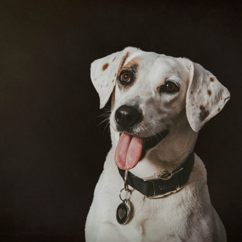 Happy Tails:  Sweetie the Beagle/Jack Russell Terrier Mix