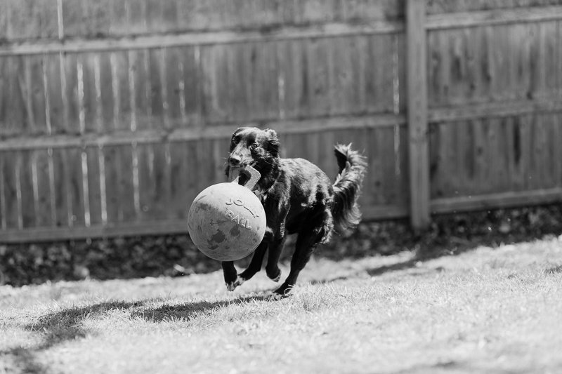 dog playing in backyard with Jolly Ball, ©Casey Fatchett Photography | lifestyle dog photography