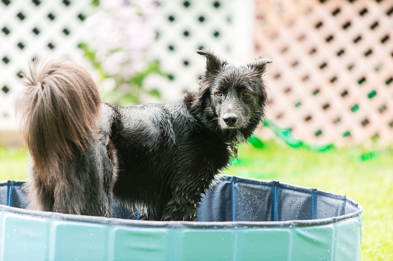 Border Collie mix in dog pool, ©Casey Fatchett Photography | on location pet photography