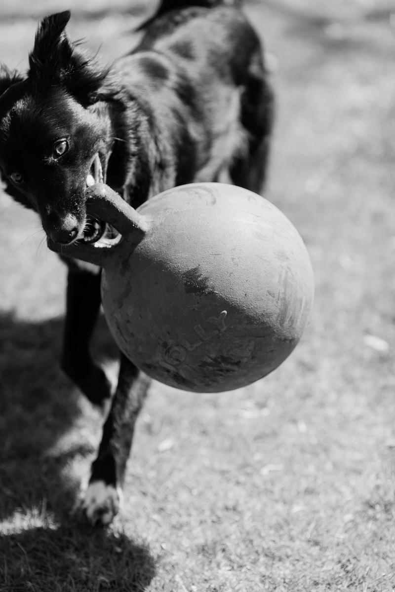 dog playing in backyard | ©Casey Fatchett Photography | lifestyle dog photography
